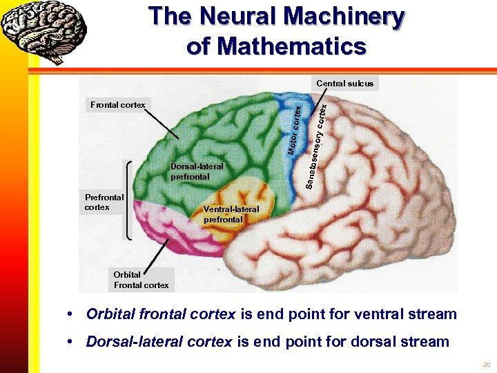 The Neural Machinery of Mathematics Prefrontal cortex ry cort senso Dorsal-lateral prefrontal Sanato Motor