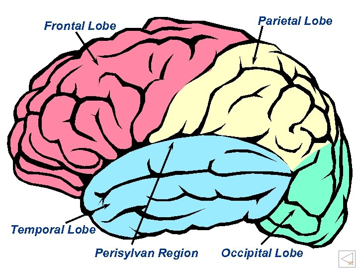 Frontal Lobe Parietal Lobe Temporal Lobe Perisylvan Region Occipital Lobe 28
