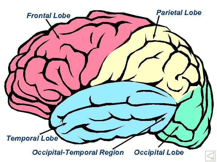 Frontal Lobe Parietal Lobe Temporal Lobe Occipital-Temporal Region Occipital Lobe 30