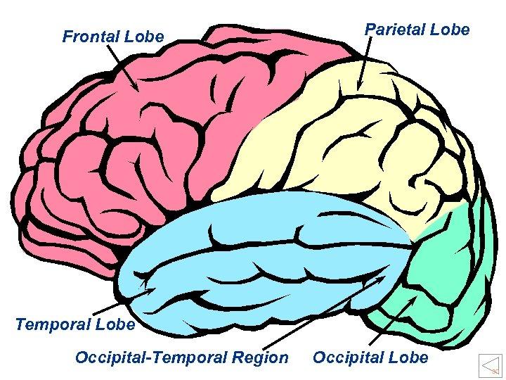 Frontal Lobe Parietal Lobe Temporal Lobe Occipital-Temporal Region Occipital Lobe 30