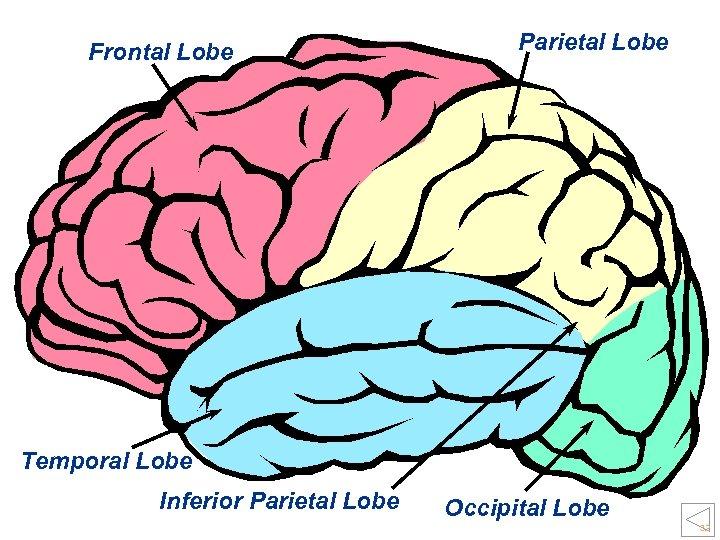 Frontal Lobe Parietal Lobe Temporal Lobe Inferior Parietal Lobe Occipital Lobe 32