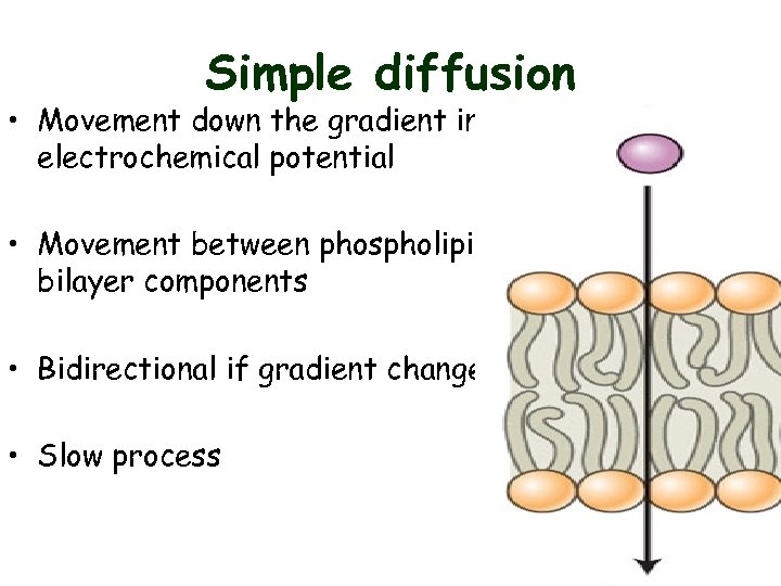Simple diffusion • Movement down the gradient in electrochemical potential • Movement between phospholipid