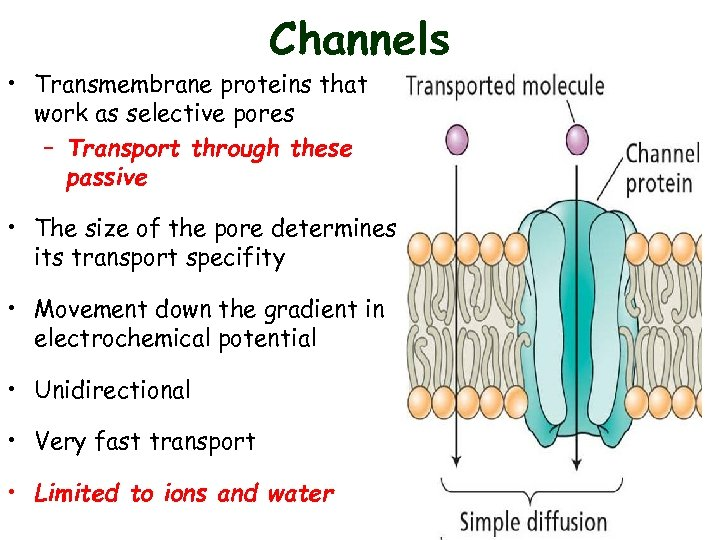 Channels • Transmembrane proteins that work as selective pores – Transport through these passive