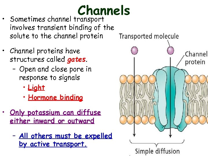 Channels • Sometimes channel transport involves transient binding of the solute to the channel