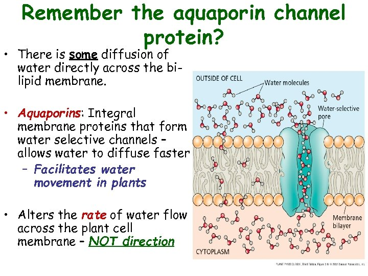 Remember the aquaporin channel protein? • There is some diffusion of water directly across
