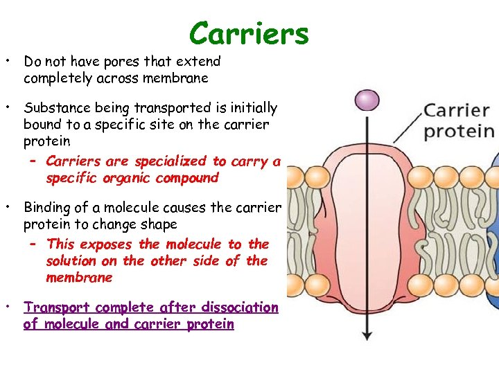 Carriers • Do not have pores that extend completely across membrane • Substance being