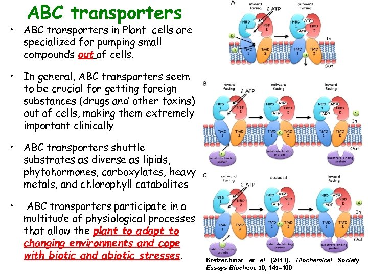 ABC transporters • ABC transporters in Plant cells are specialized for pumping small compounds