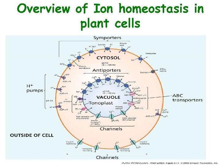 Overview of Ion homeostasis in plant cells