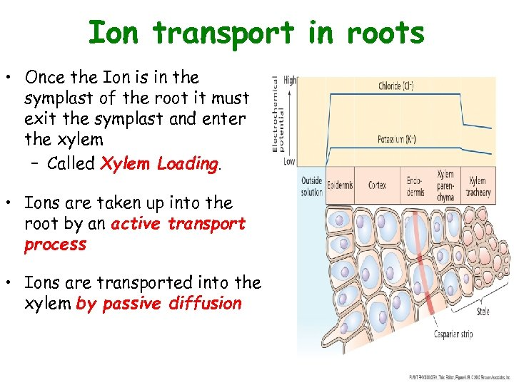 Ion transport in roots • Once the Ion is in the symplast of the