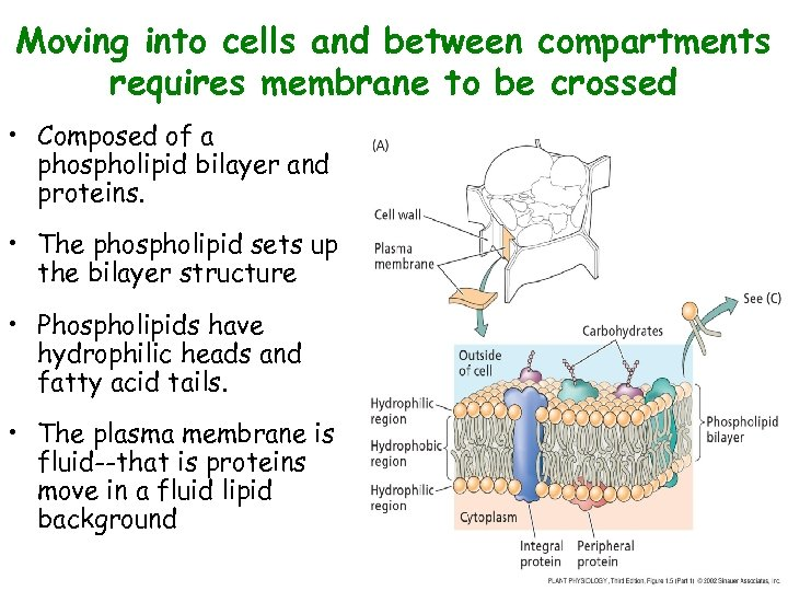 Moving into cells and between compartments requires membrane to be crossed • Composed of