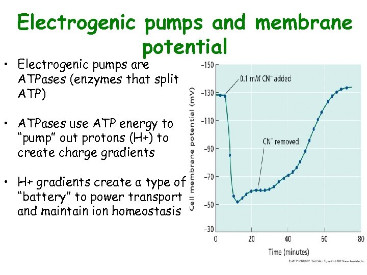 Electrogenic pumps and membrane potential • Electrogenic pumps are ATPases (enzymes that split ATP)