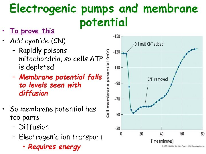 Electrogenic pumps and membrane potential • To prove this • Add cyanide (CN) –