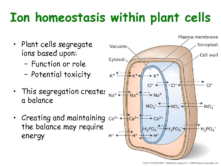 Ion homeostasis within plant cells • Plant cells segregate ions based upon: – Function