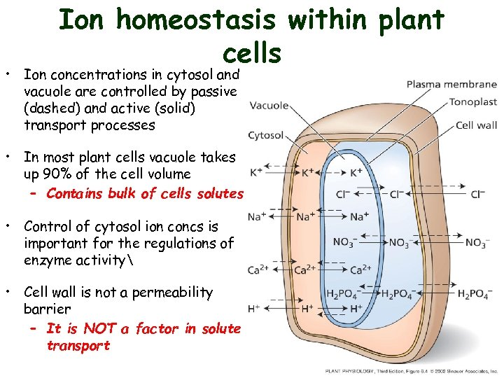 Ion homeostasis within plant cells • Ion concentrations in cytosol and vacuole are controlled