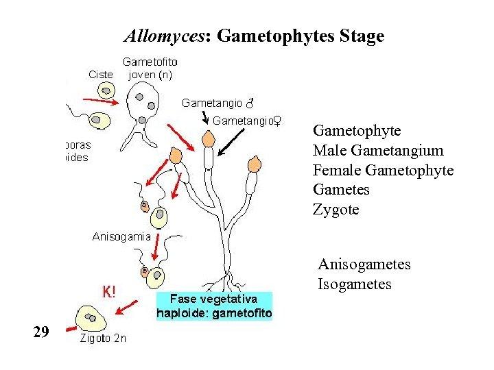 Allomyces: Gametophytes Stage Gametophyte Male Gametangium Female Gametophyte Gametes Zygote Anisogametes Isogametes 29