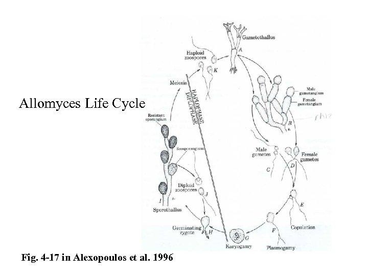 Allomyces Life Cycle Fig. 4 -17 in Alexopoulos et al. 1996