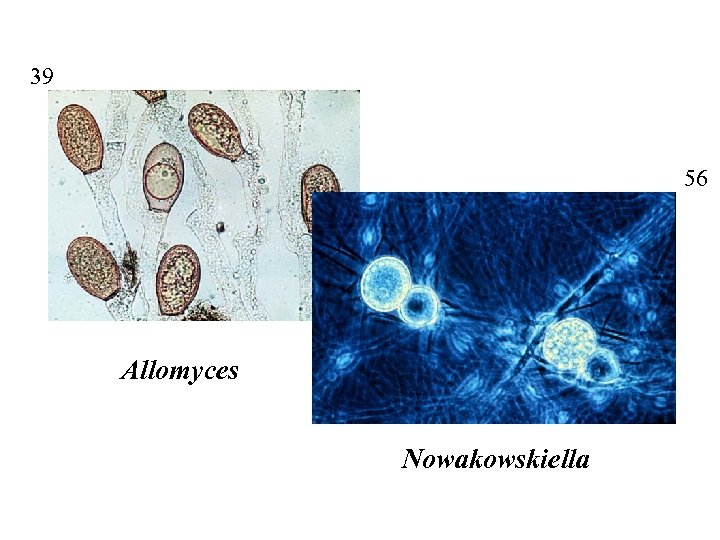 39 56 Allomyces Nowakowskiella