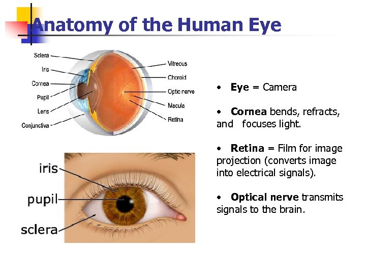 Anatomy of the Human Eye • Eye = Camera • Cornea bends, refracts, and