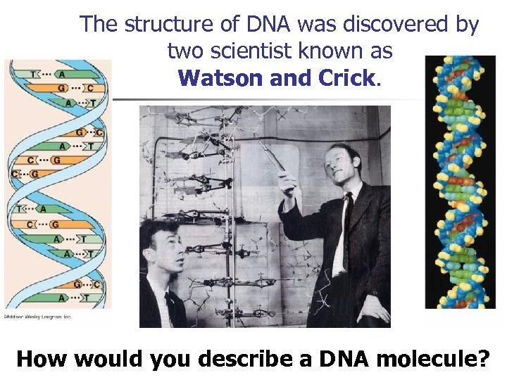 The structure of DNA was discovered by two scientist known as Watson and Crick.