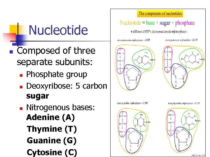 Nucleotide n Composed of three separate subunits: n n n Phosphate group Deoxyribose: 5