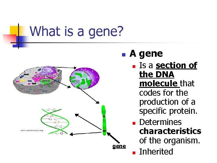 What is a gene? n A gene n n gene n Is a section