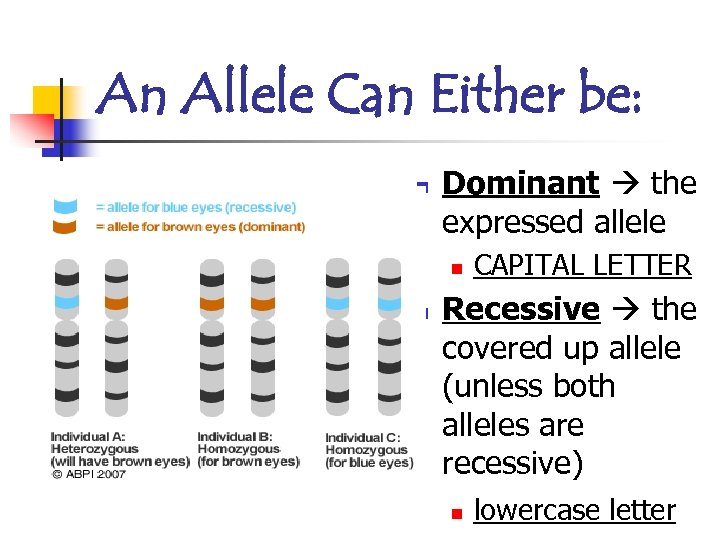 An Allele Can Either be: n Dominant the expressed allele n n CAPITAL LETTER