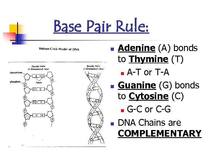 Base Pair Rule: n n n Adenine (A) bonds to Thymine (T) n A-T