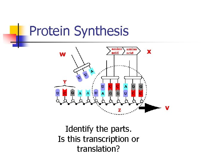 Protein Synthesis w x v Identify the parts. Is this transcription or translation?