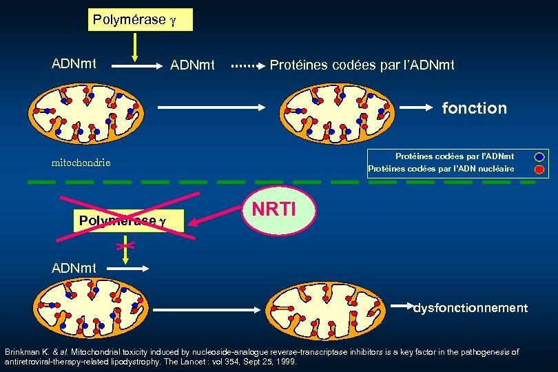 Polymérase ADNmt Protéines codées par l'ADNmt fonction Protéines codées par l'ADNmt Protéines codées par