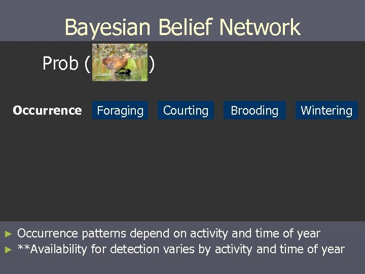 Bayesian Belief Network Prob ( Occurrence ) Foraging Courting Brooding Wintering Occurrence patterns depend