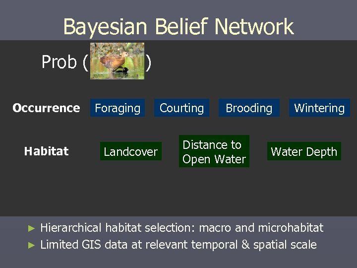 Bayesian Belief Network Prob ( Occurrence Habitat ) Foraging Landcover Courting Brooding Distance to