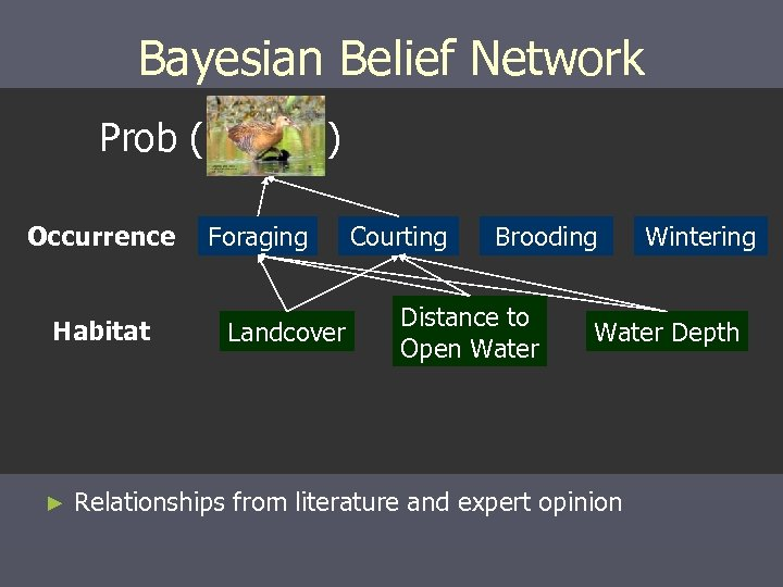Bayesian Belief Network Prob ( Occurrence Habitat ► ) Foraging Landcover Courting Brooding Distance