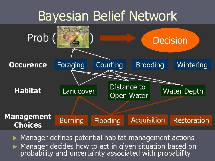 Bayesian Belief Network Prob ( Occurence Habitat Management Choices ► ► ) Decision Foraging