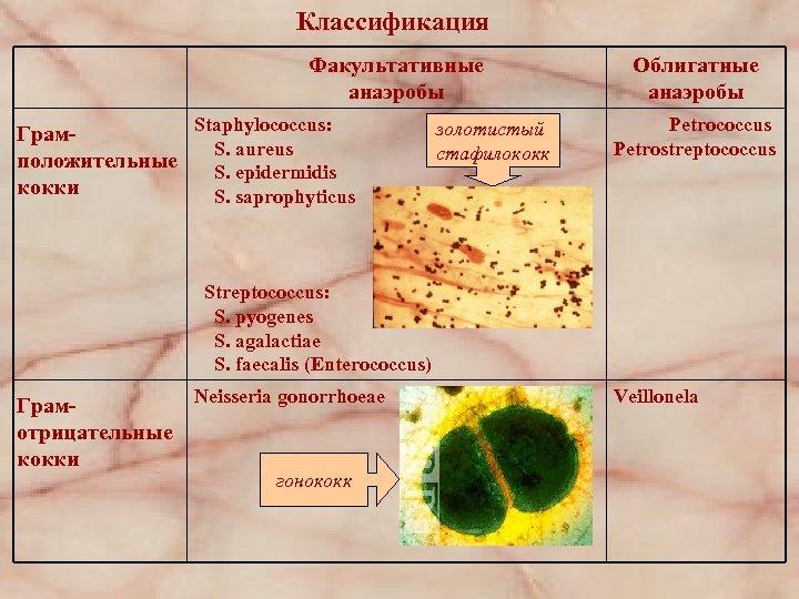 Классификация Факультативные анаэробы Staphylococcus: Грам. S. aureus положительные S. epidermidis кокки S. saprophyticus золотистый