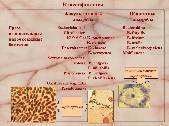 Классификация Факультативные анаэробы Грамотрицательные палочковидные бактерии Eschericha coli Citrobacter Klebsiella: K. pneumoniae K. oxitoca