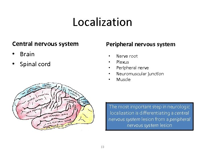 Localization Central nervous system Peripheral nervous system • Brain • Spinal cord • •