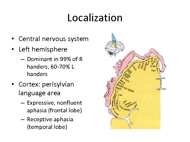 Localization • Central nervous system • Left hemisphere – Dominant in 99% of R