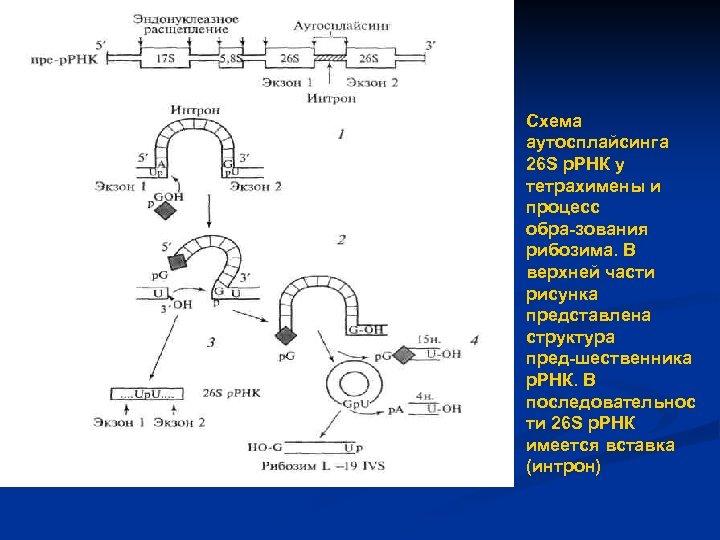 Схема аутосплайсинга 26 S р. РНК у тетрахимены и процесс обра зования рибозима. В