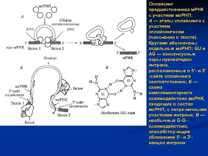 Сплайсинг предшественника м. РНК с участием мя. РНП: А — этапы сплайсинга с участием