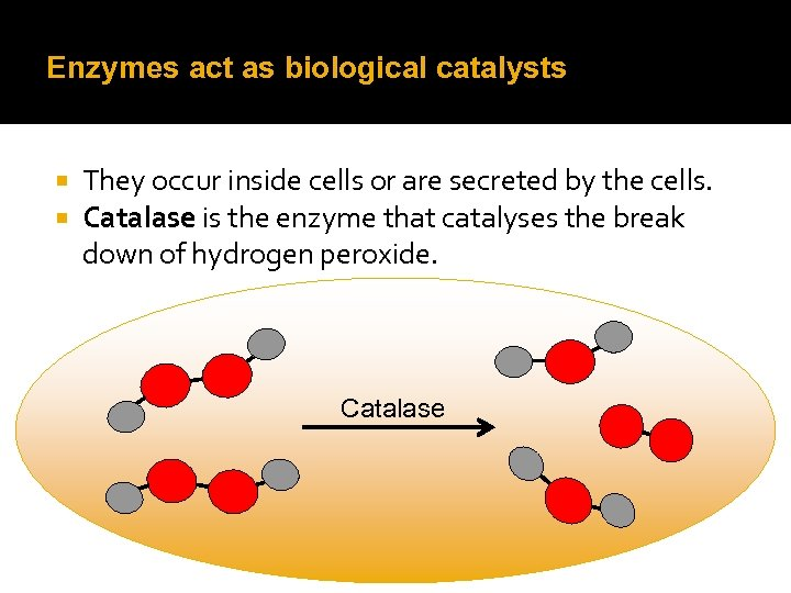 Enzymes act as biological catalysts They occur inside cells or are secreted by the