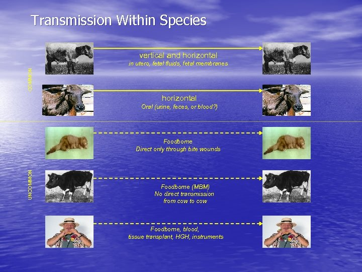 Transmission Within Species vertical and horizontal COMMON in utero, fetal fluids, fetal membranes horizontal