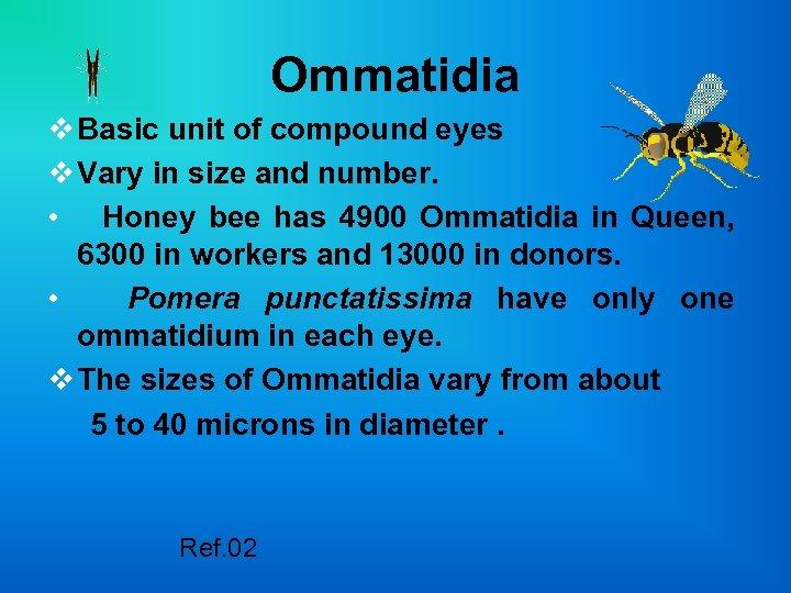 Ommatidia v Basic unit of compound eyes v Vary in size and number. •