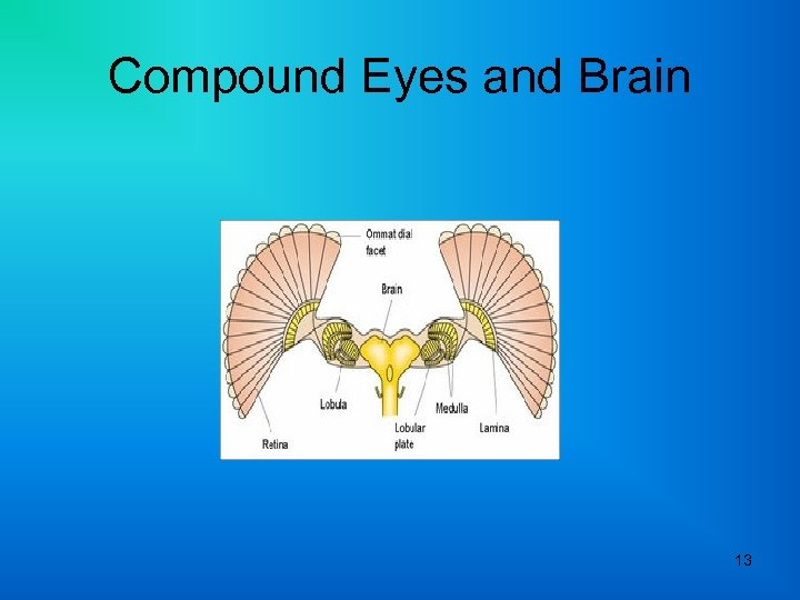 Compound Eyes and Brain 13