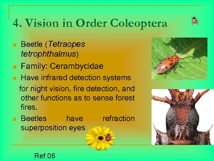 4. Vision in Order Coleoptera n n Beetle (Tetraopes tetrophthalmus) Family: Cerambycidae Have infrared
