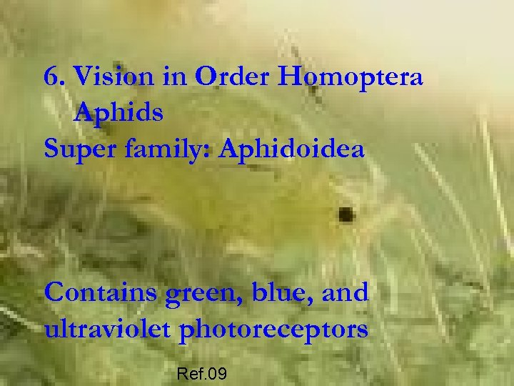 6. Vision in Order Homoptera Aphids Super family: Aphidoidea Contains green, blue, and ultraviolet