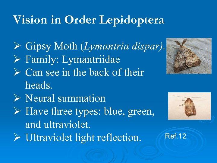 Vision in Order Lepidoptera Ø Gipsy Moth (Lymantria dispar). Ø Family: Lymantriidae Ø Can