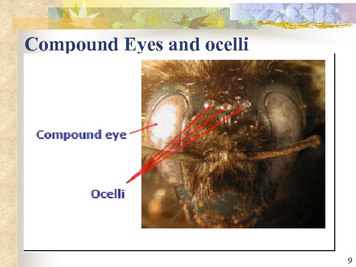 Compound Eyes and ocelli 9