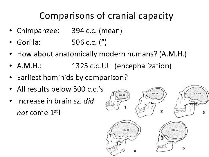 Comparisons of cranial capacity • • Chimpanzee: 394 c. c. (mean) Gorilla: 506 c.