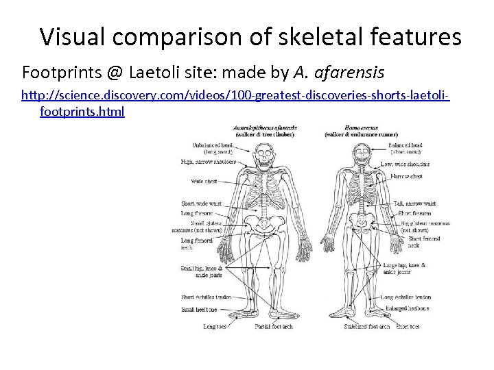 Visual comparison of skeletal features Footprints @ Laetoli site: made by A. afarensis http: