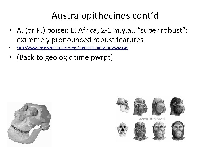 Australopithecines cont'd • A. (or P. ) boisei: E. Africa, 2 -1 m. y.